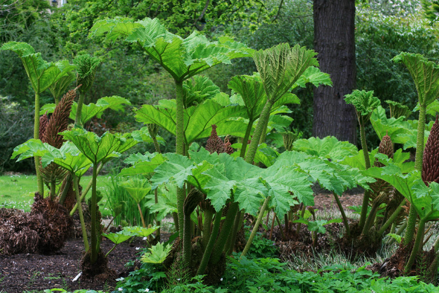 Close To The Pond Is A Crop Of Giant Rhubarb, Toweringly Impressive And  Dwarfing The Surrounding Plants.