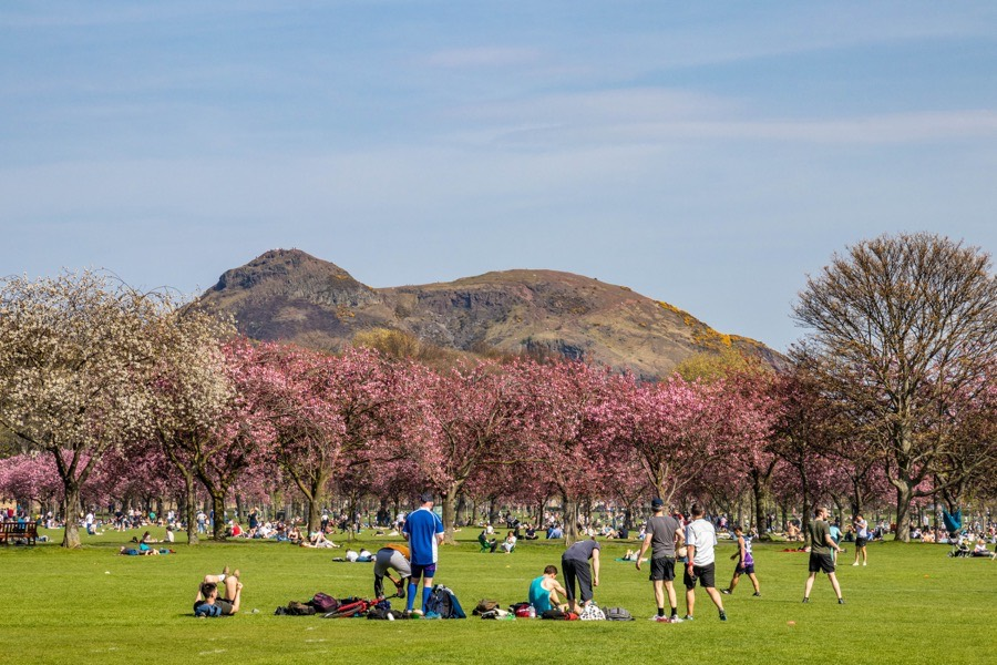 cherry blossom in The Meadows